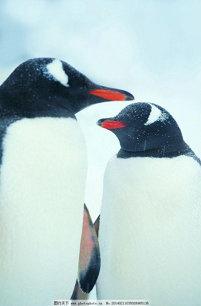 憨厚 北极 寒冷 南极 雪地 冰雪 冰山 海水 企鹅特写图片 野生动物