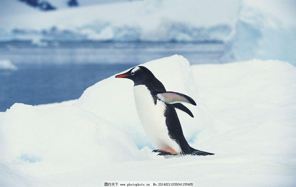 寒冷 南极 雪地 冰雪 冰山 蓝天 白云 北极动物摄影 企鹅特写图片