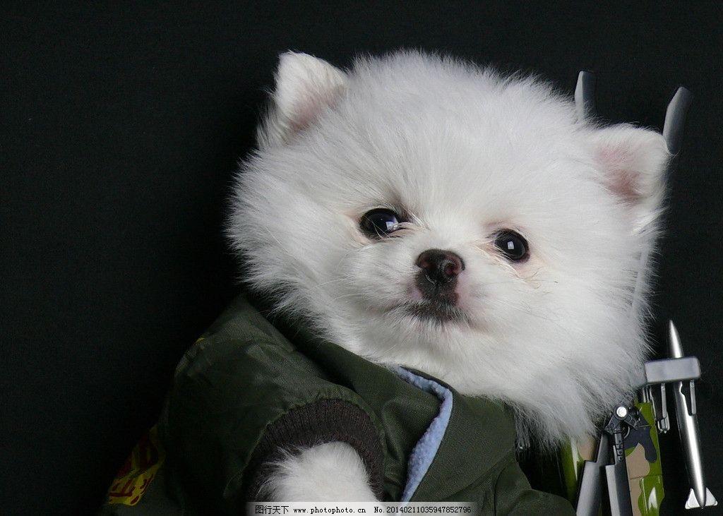 博美 狗狗 可爱 生日 照片 家禽家畜 生物世界 摄影 72dpi jpg