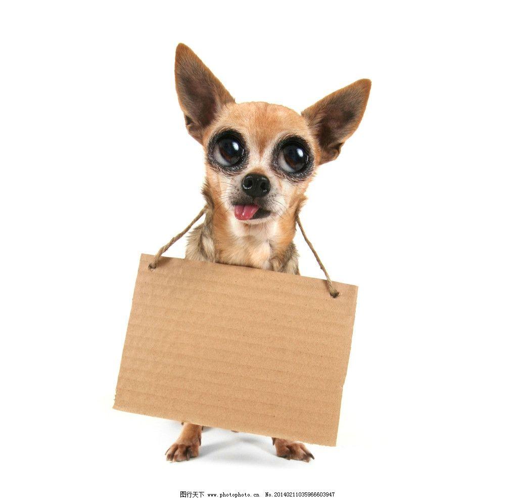 小狗图片,吉娃娃 狗狗 宠物 宠物狗 可爱 动物 家禽