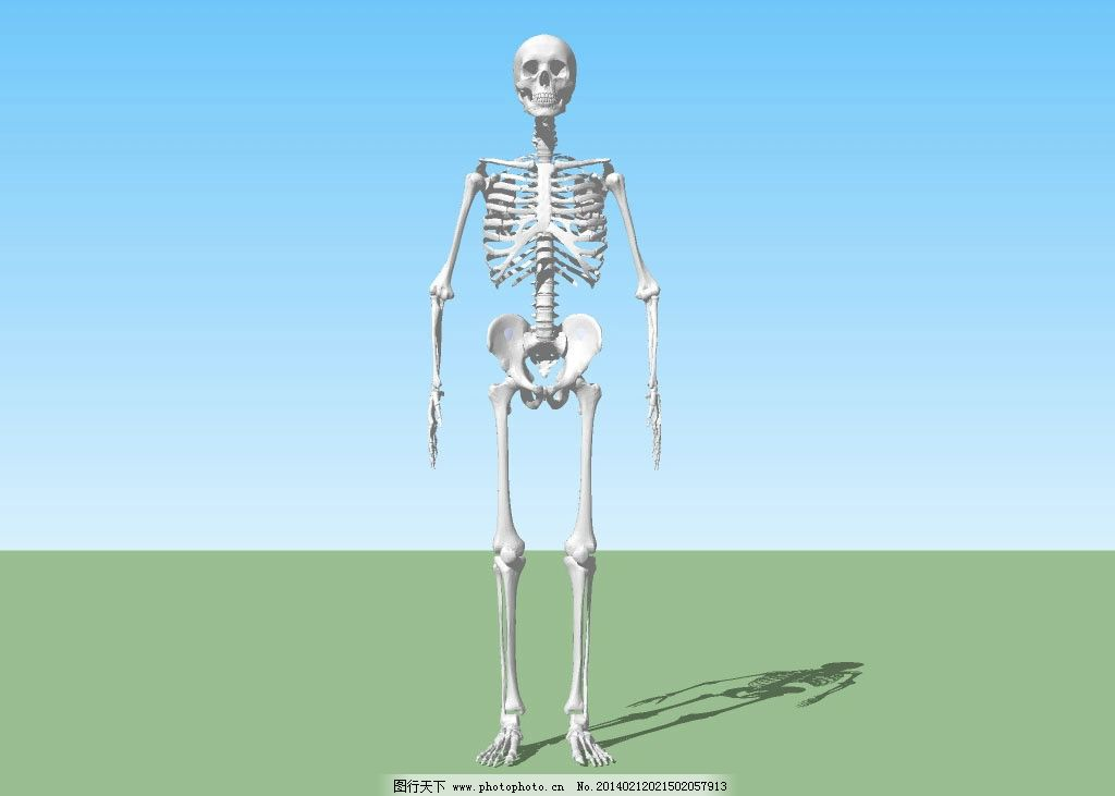 骨架 骷髅 骨骼 人体 三维