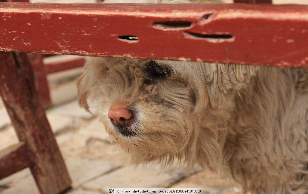 西施犬 狗狗 嗅觉 忧郁的小狗 动物 犬类 红色的桌子 家禽家畜 生物
