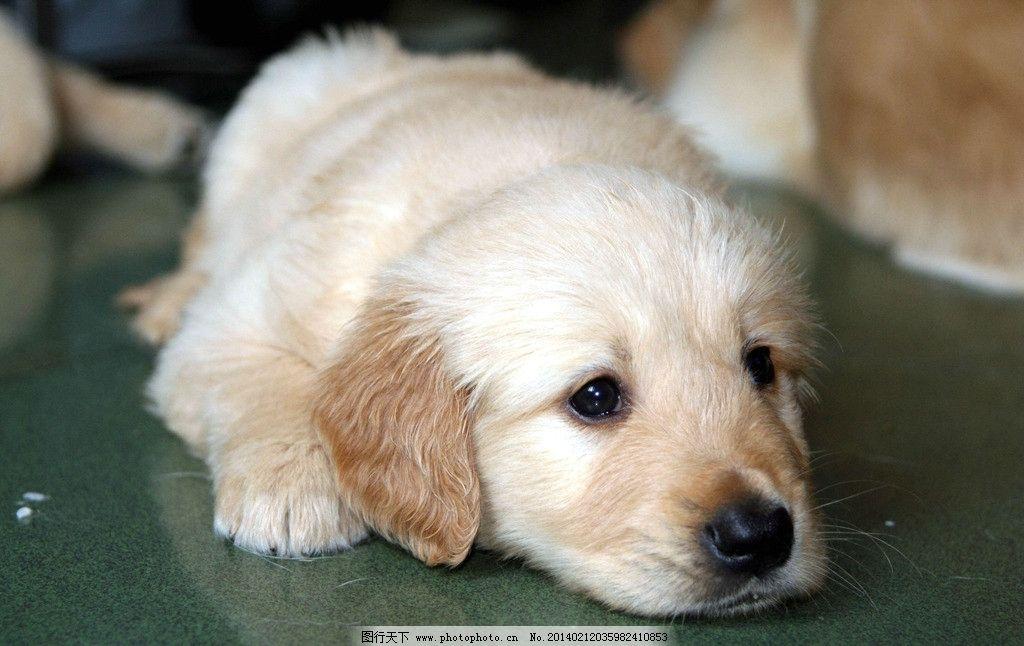 狗 小动物 可爱 宠物狗 犬 狗宝宝 家畜 家禽家畜 生物世界 摄影 72
