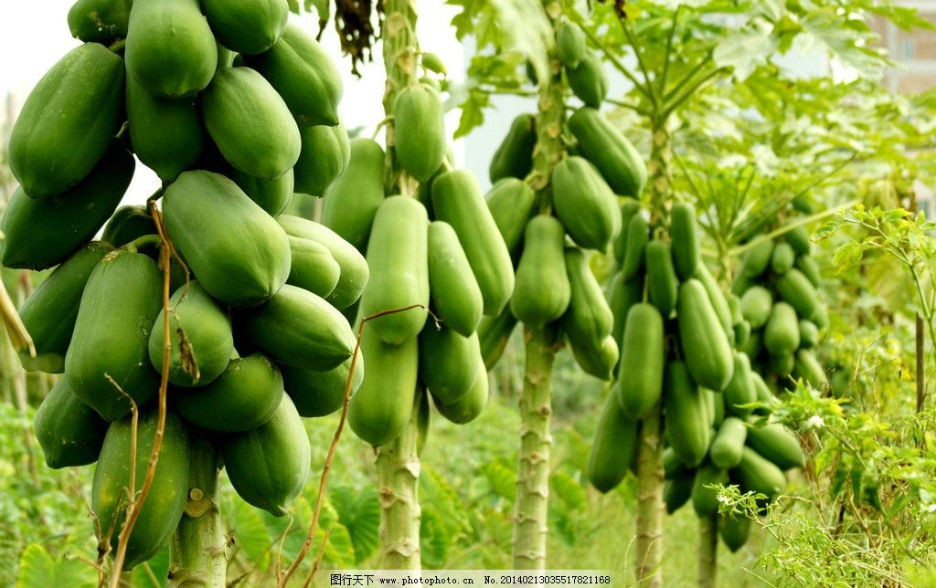 木瓜 水果 木瓜树 木本植物 瓜果类 生物世界 摄影 350dpi jpg