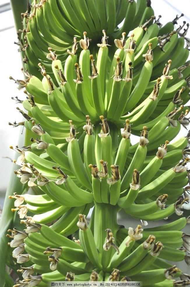 香蕉 绿色 植物 水果 温室 热带 生物世界 摄影