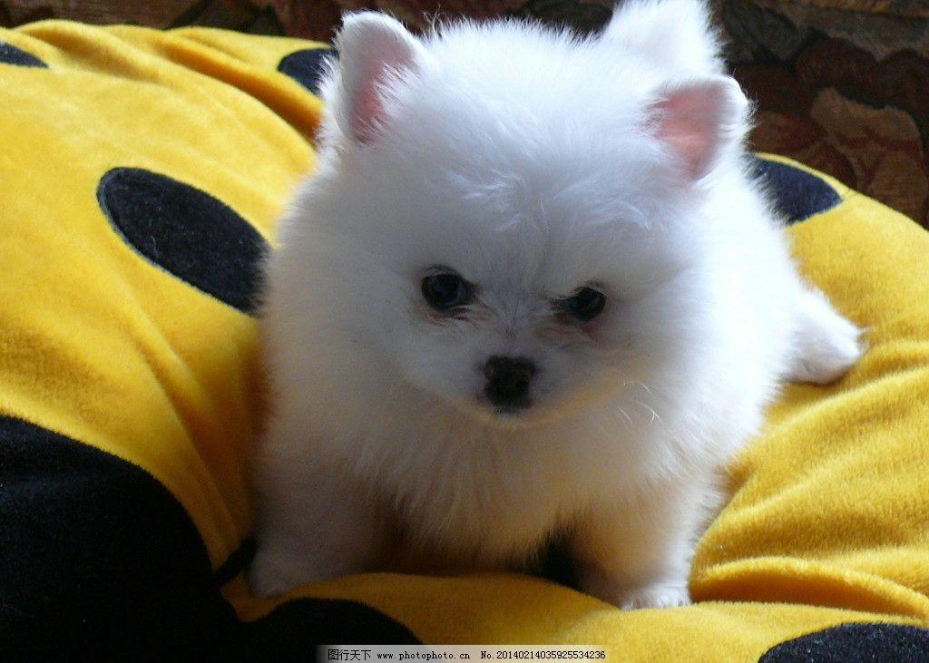 白色 博美 胖胖 的 狗狗 家禽家畜 生物世界 摄影 72dpi jpg