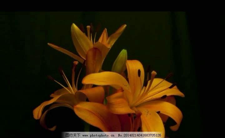花朵自然生长视频素材