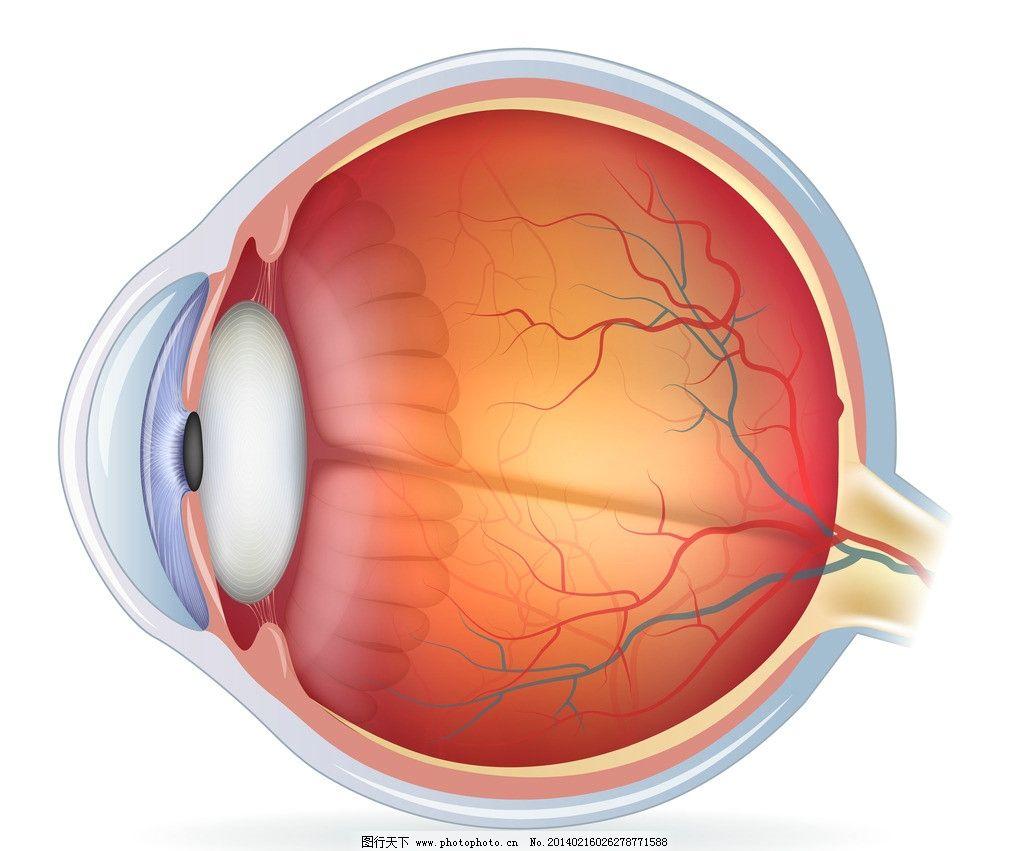 膜 3d器官 眼部结构 人体器官 人体研究 医学-分享 发布到 发表评论.