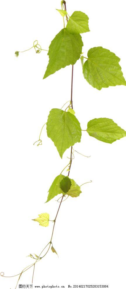 树叶设计素材 树叶模板下载 树叶 枫叶 绿叶 叶子 自然 树木树叶 生物