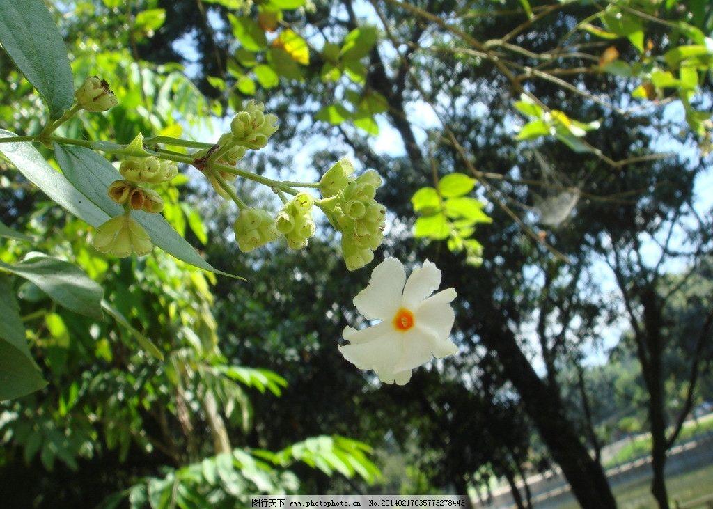 菩提花图片