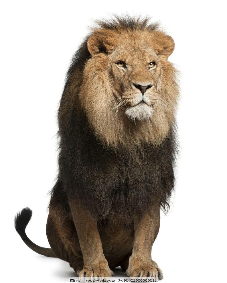狮子 雄狮 小动物 可爱 保护动物 摄影