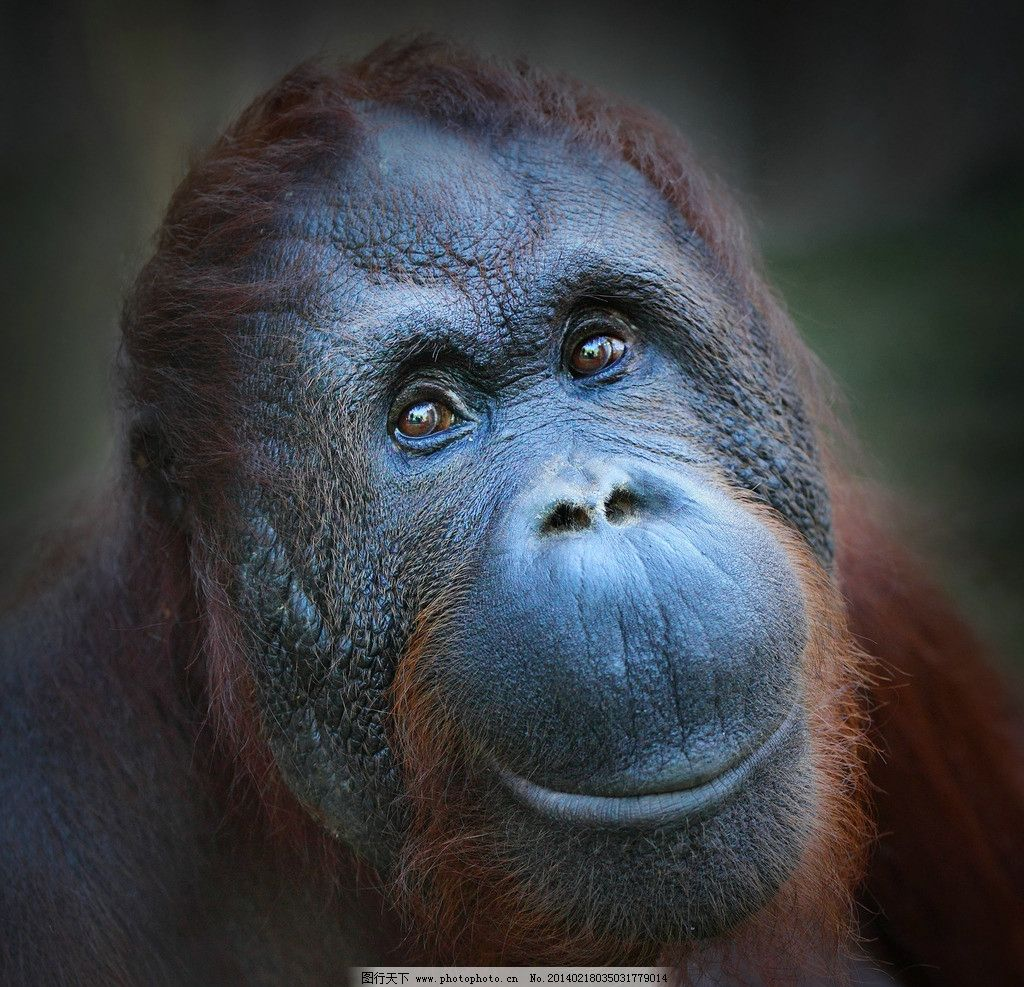 红猩猩 大猩猩 小动物 动物 野生动物 可爱 保护动物 生物世界 摄影