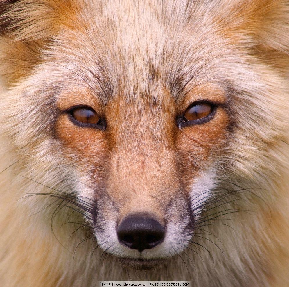 野狼 小动物 野生动物 可爱 保护动物 狐狸 生物世界 摄影