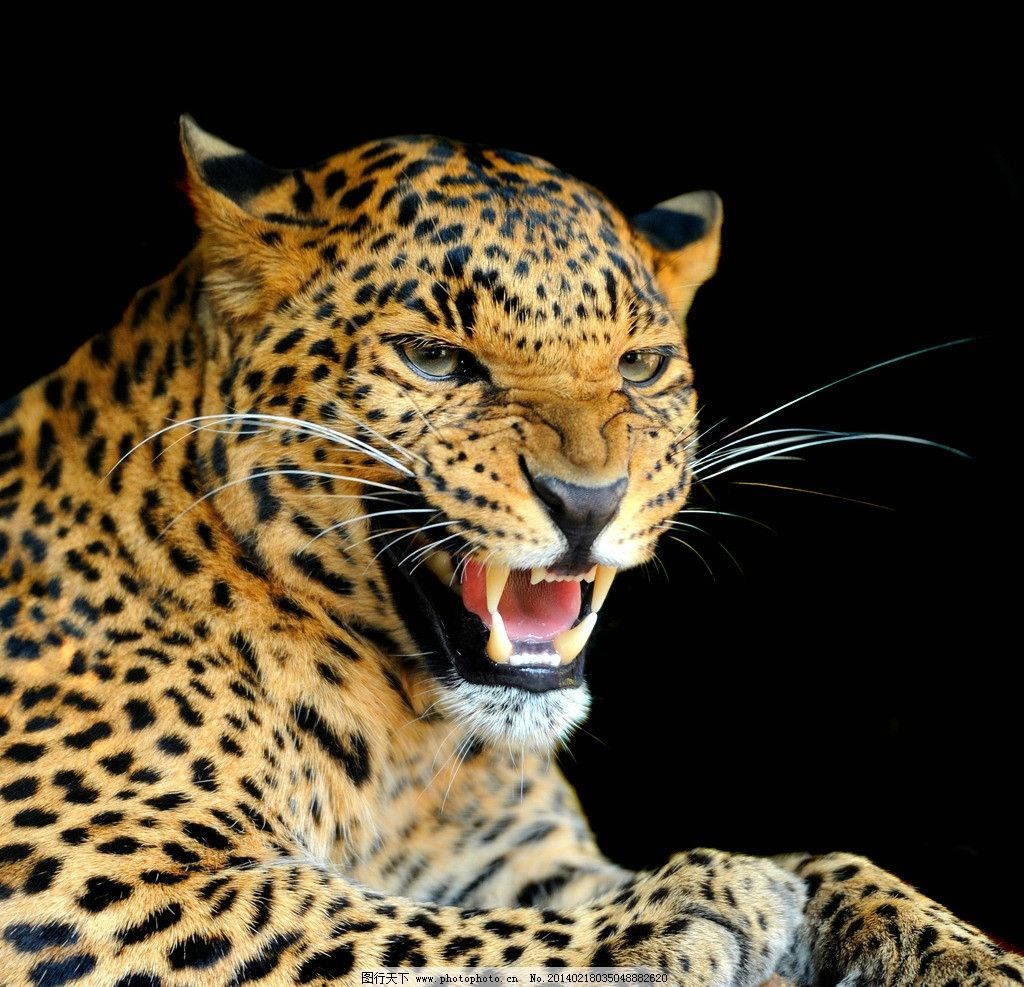 金钱豹 猎豹 豹子 非洲豹 小动物 野生动物 可爱 保护动物 生物世界