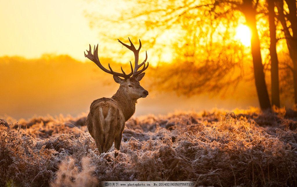 驯鹿 麋鹿 野鹿 小动物 动物 野生动物 可爱 保护动物 生物世界 摄影