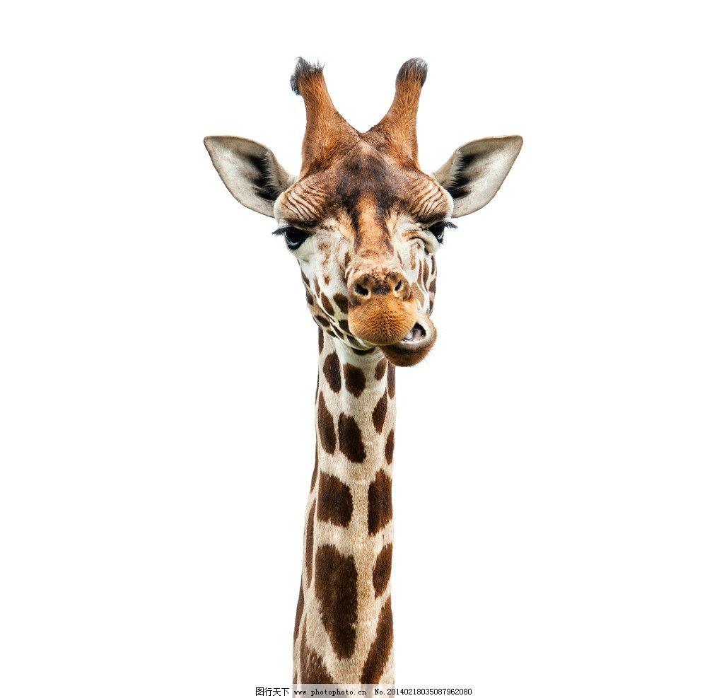 长颈鹿 小动物 动物 野生动物 可爱 保护动物 生物世界 摄影 300dpi