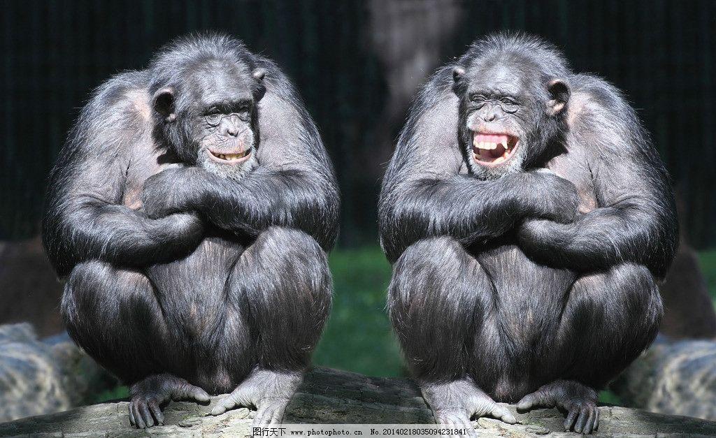 猩猩 大猩猩 猿 小动物 可爱 保护动物 摄影