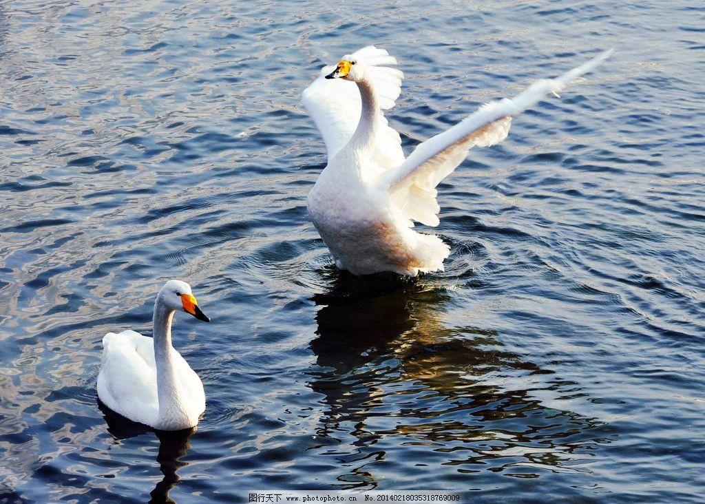 天鹅 天鹅湖 湖水 风景 唯美 鸟类 生物世界 摄影 300dpi jpg