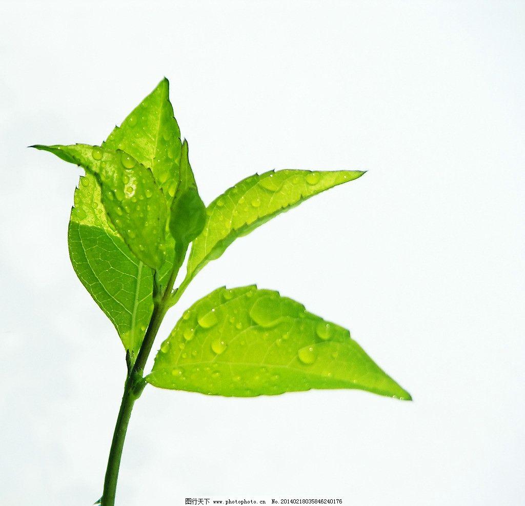 树叶 绿叶 小叶芽 嫩叶 叶子 树木树叶 生物世界 摄影 300dpi jpg