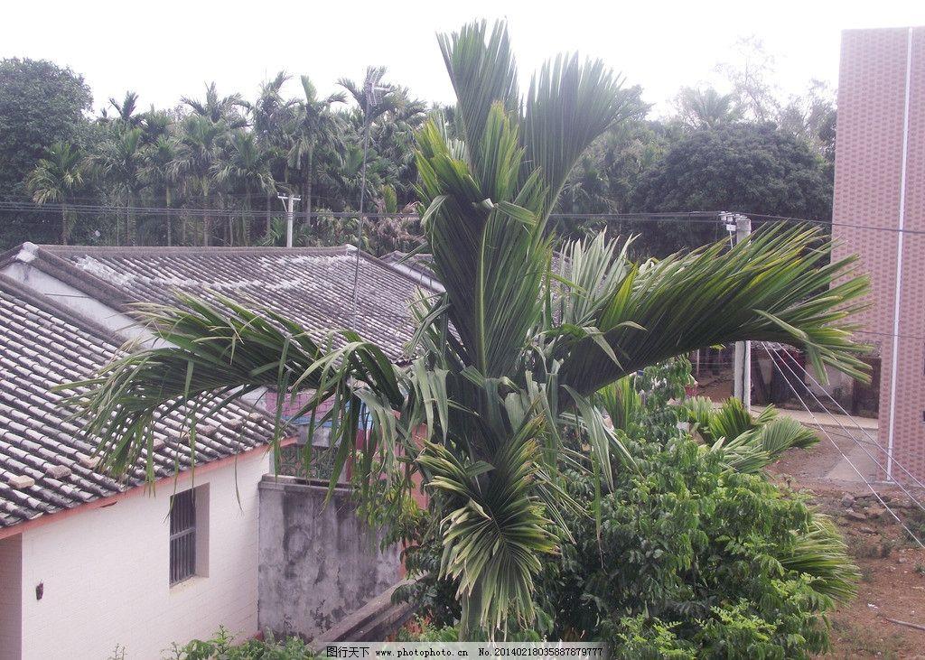 槟榔树 槟榔树图片素材下载 槟榔 树木 海南 旅游摄影 树木树叶 生物