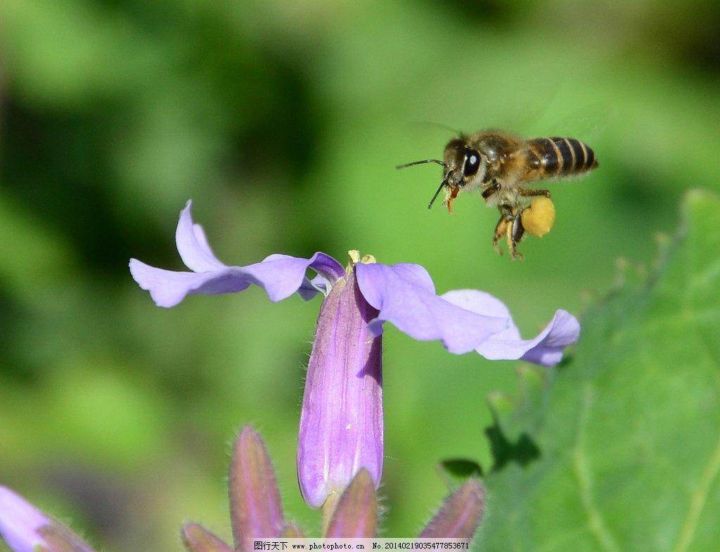 蜜蜂采蜜 蜜蜂 花 采蜜 自然 生物 春天 昆虫 生物世界 摄影 300dpi