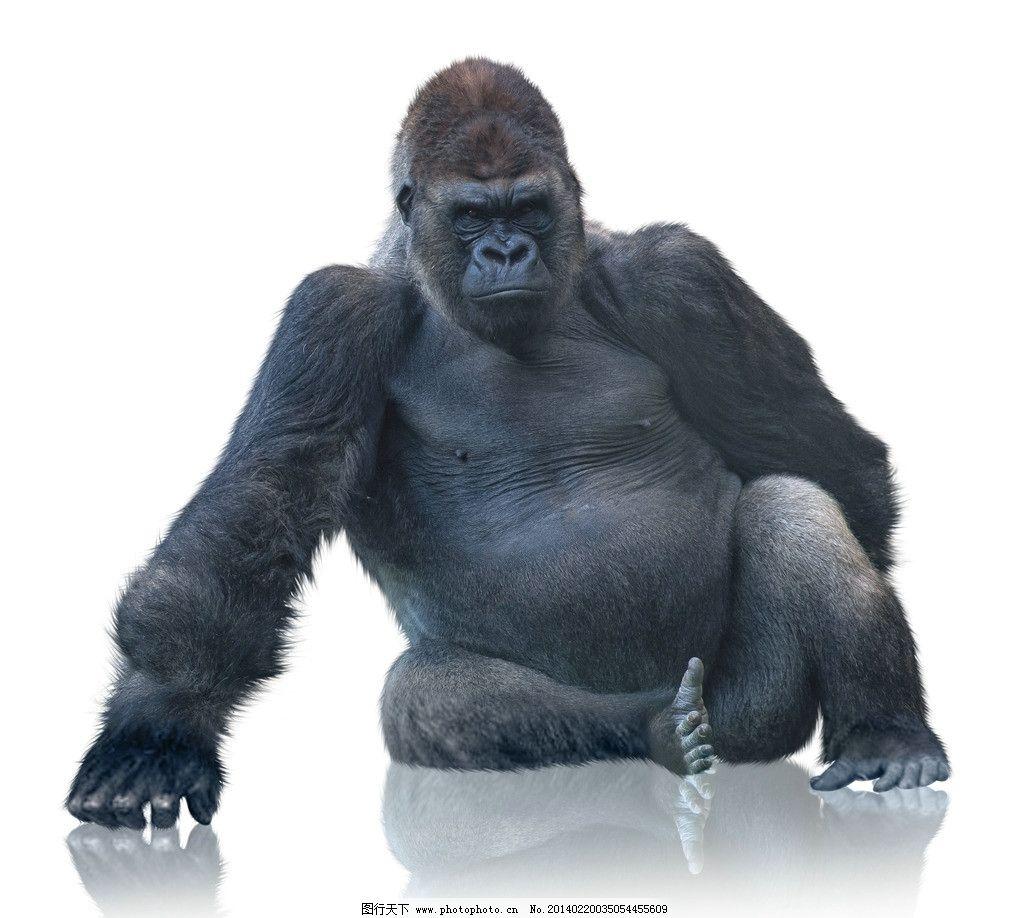 大猩猩 黑猩猩 猿 小动物 野生动物 可爱 保护动物 生物世界