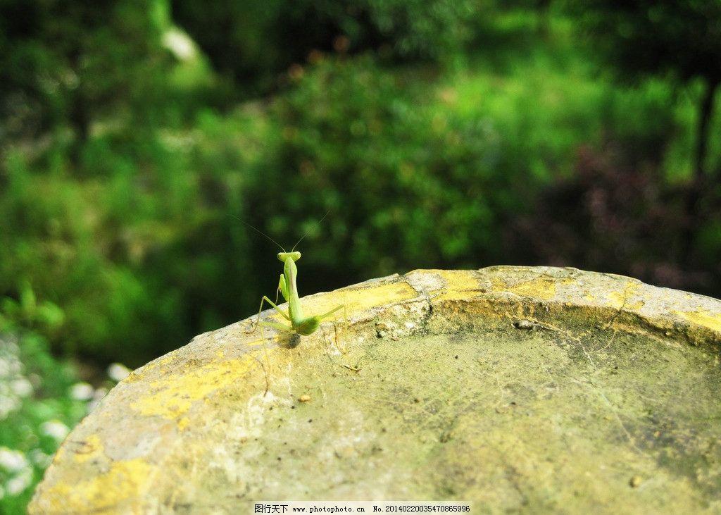 昆虫 螳螂 绿色 生物 动物 小虫子 大自然 原生态 石头 树