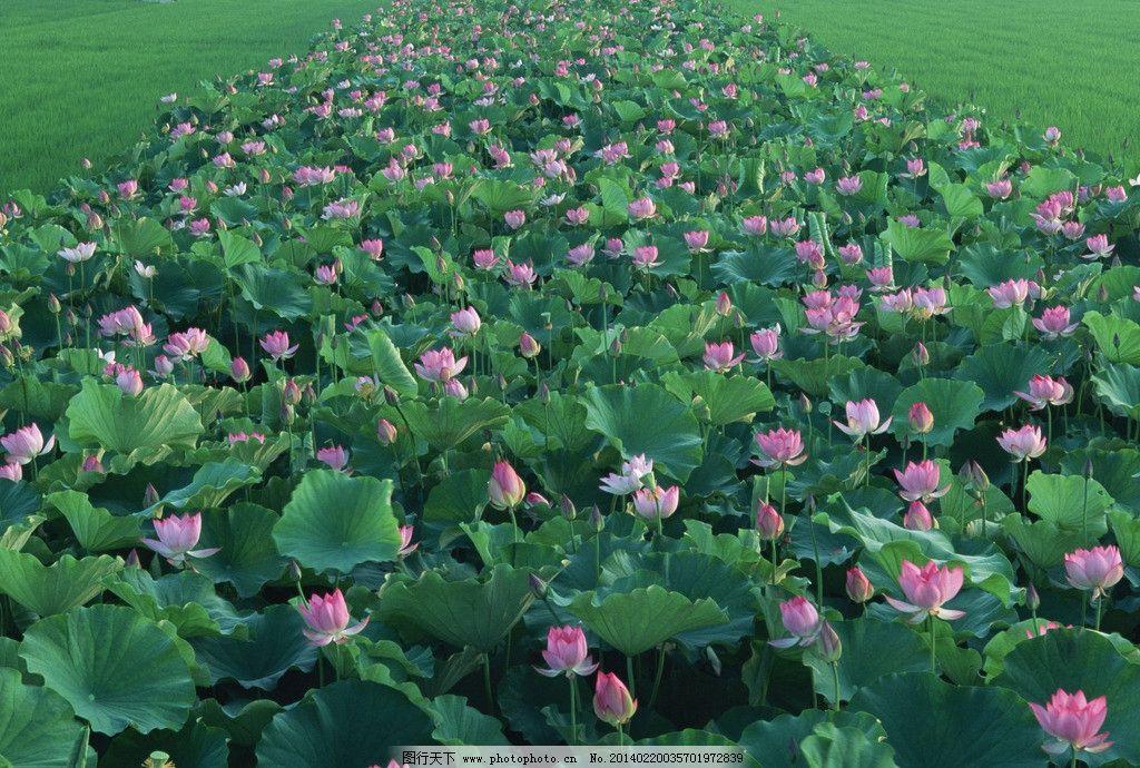 荷花 荷叶 荷塘 池塘 盛放莲花 莲叶 水莲 高清图片 摄影图片