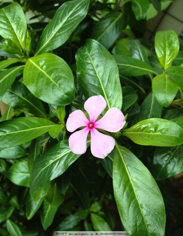 长春花 叶子图片