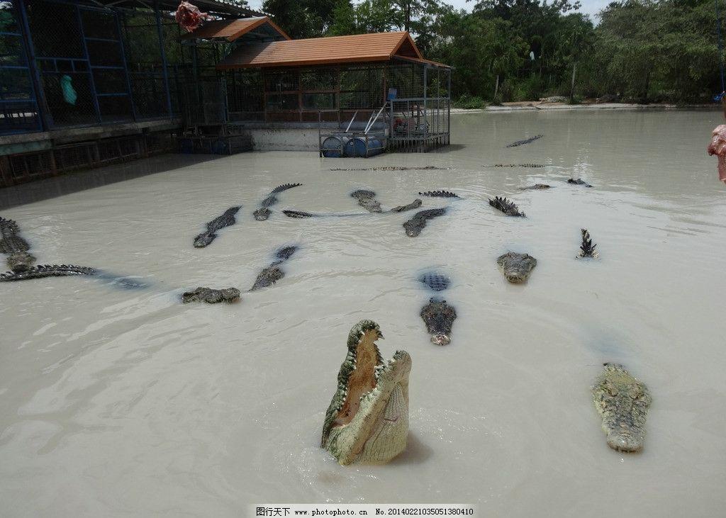 鳄鱼 鳄鱼池 动物 爬行类动物 肉食动物 野生动物 生物世界 摄影