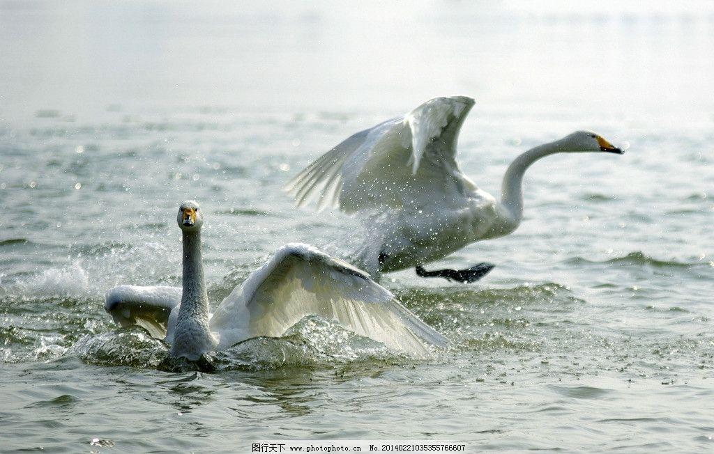 天鹅 白天鹅 湖水 动物 天鹅图 鸟类 生物世界 摄影 72dpi jpg