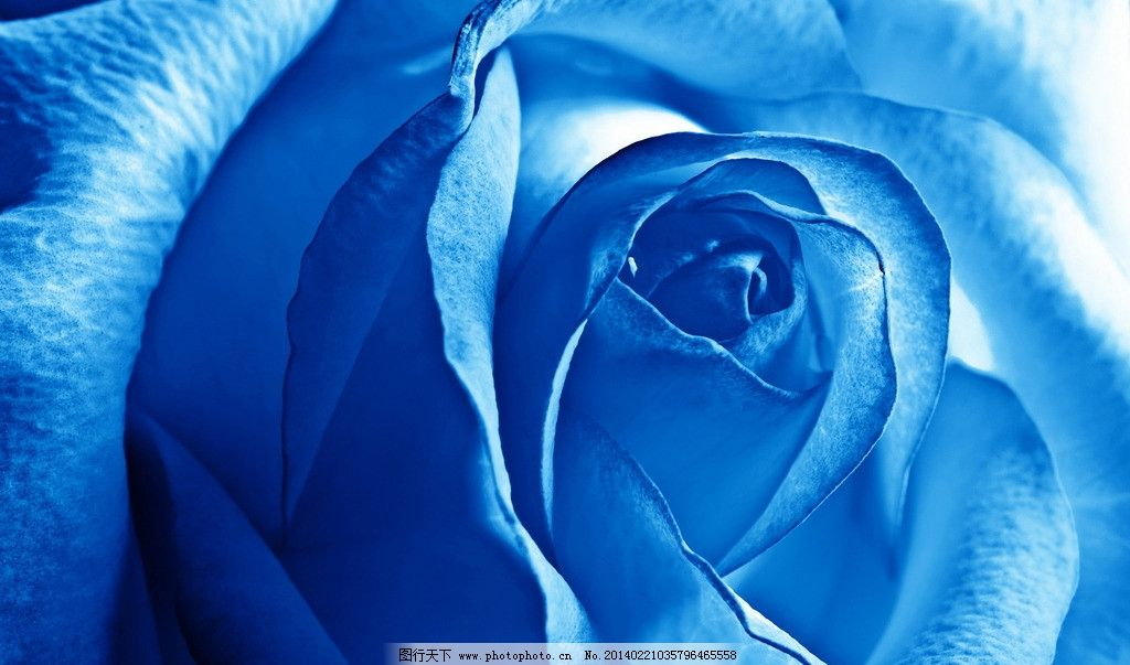 蓝玫瑰 蓝 玫瑰 花朵 蓝色