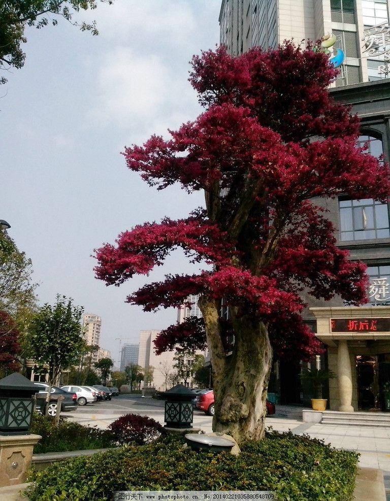 红色的树 树 路边 红 红色 树叶 盆栽 树木树叶 生物世界 摄影 72dpi