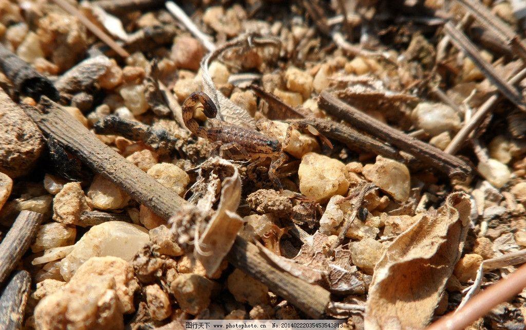 蝎子 昆虫 毒昆虫 沙石 摄影 野生动物 生物世界