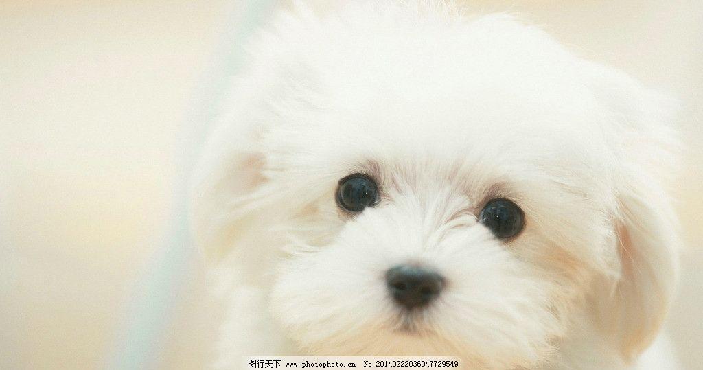可爱小白狗 宠物 狗狗 壁纸 白色 可爱 萌宠 其他生物 生物世界 摄影