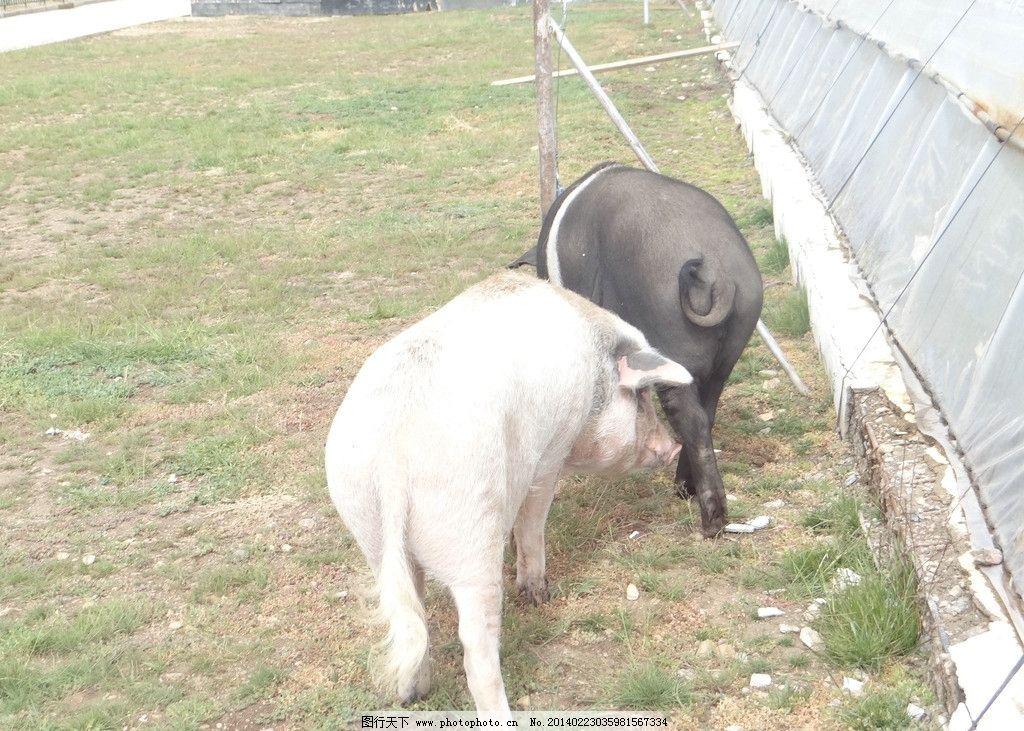 藏香猪 西藏 特产藏香猪 动物 草地 家禽家畜 生物世界 摄影 72dpi