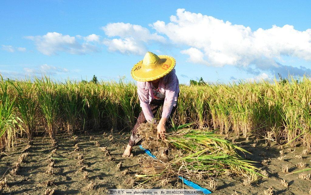 秋收 秋天 丰收 割稻谷 农民 生活素材 摄影