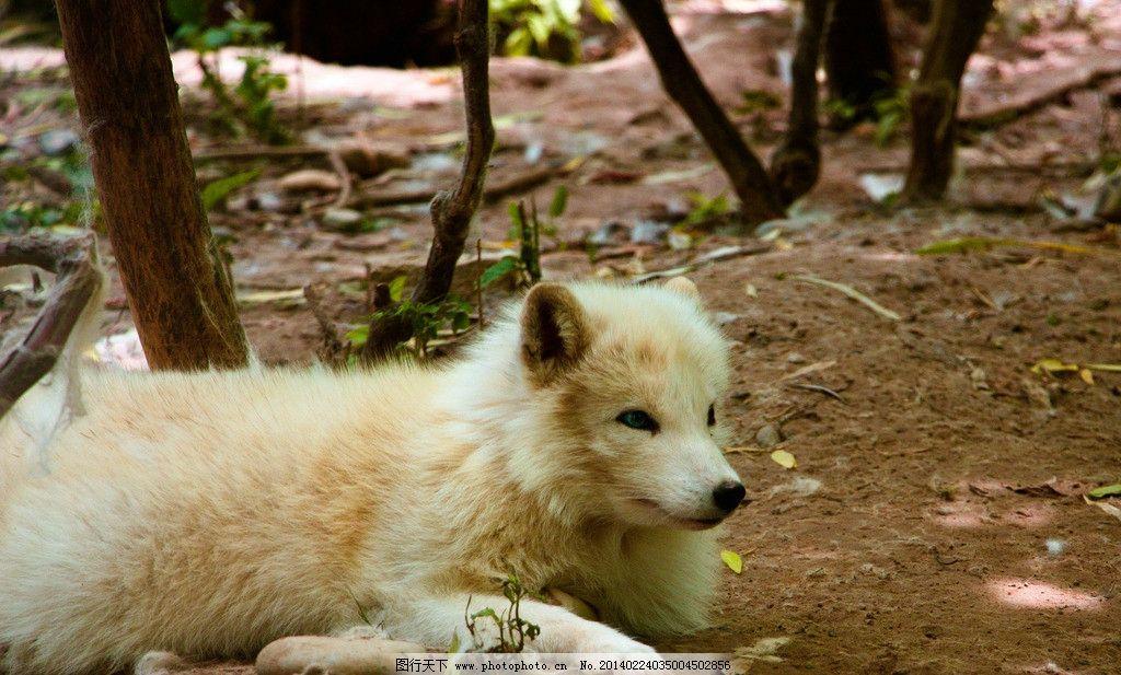 狐狸 动物 动物园 白虎 匍匐 动物世界 自然 生态 环保 野生动物 生物