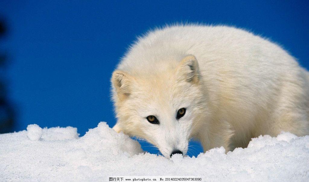 必应北极野生动物国家保护区内的北极熊