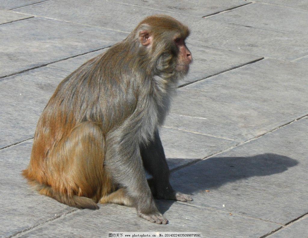 美猴王图片_野生动物_生物世界_图行天下图库