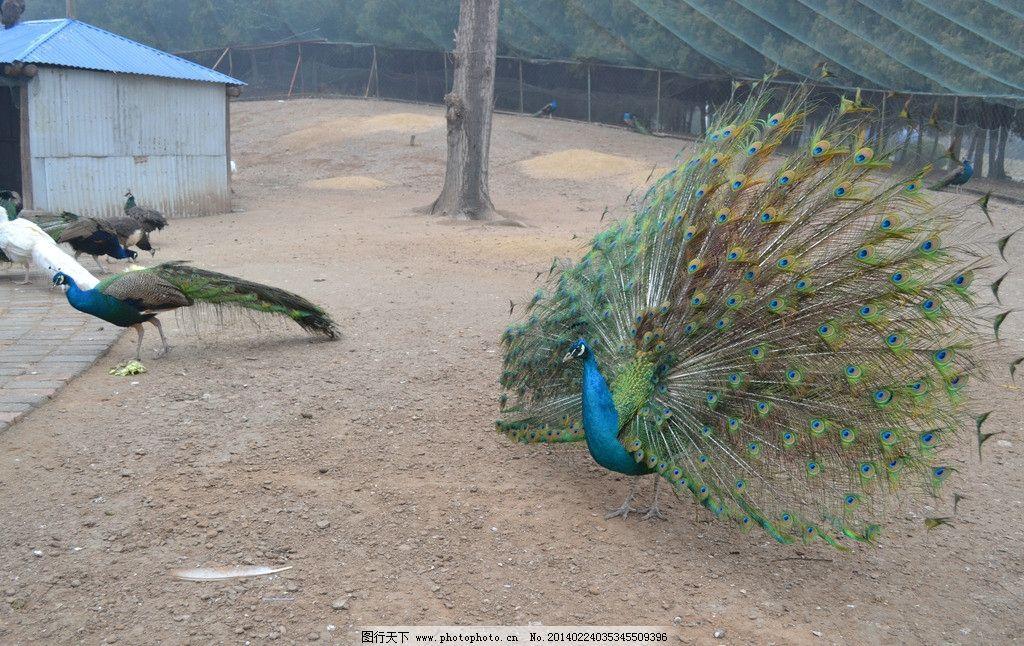 孔雀 孔雀开屏 动物园 绿孔雀 鸟类 生态园 国内旅游 旅游摄影 摄影