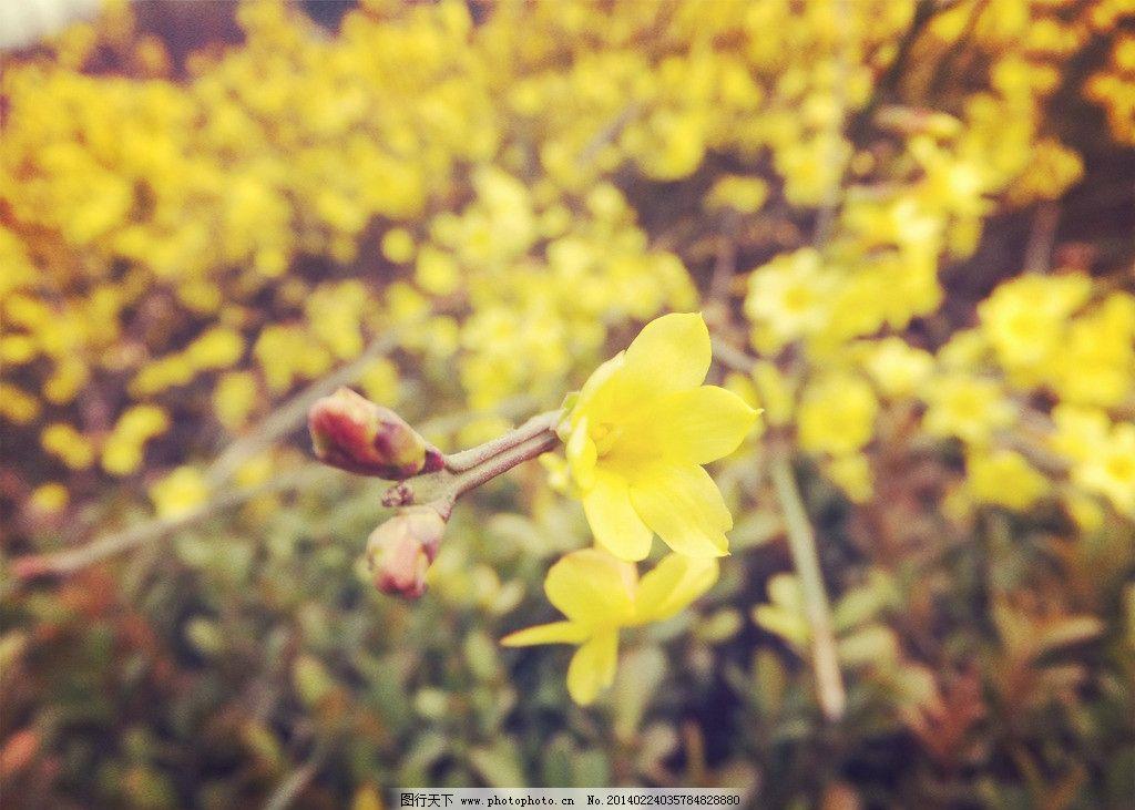 迎春花 迎春花图片素材下载 黄色 春天 春花 生物世界 树木树叶 摄影