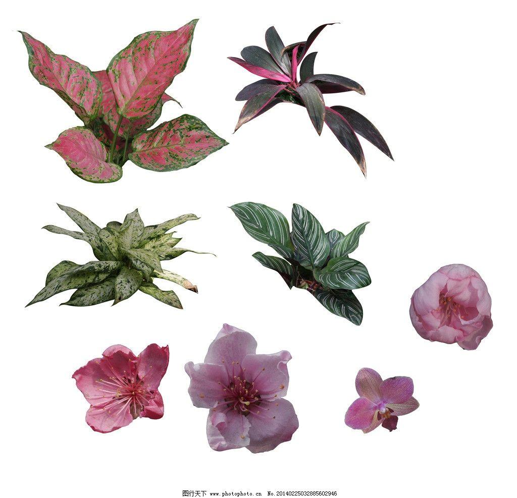 花卉 红色 大叶 植被 素材 风景 psd分层素材 源文件 300dpi psd