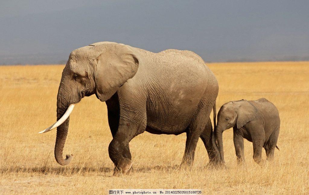 大象小象 非洲象 草原 动物 高清 摄影 野生动物 生物世界