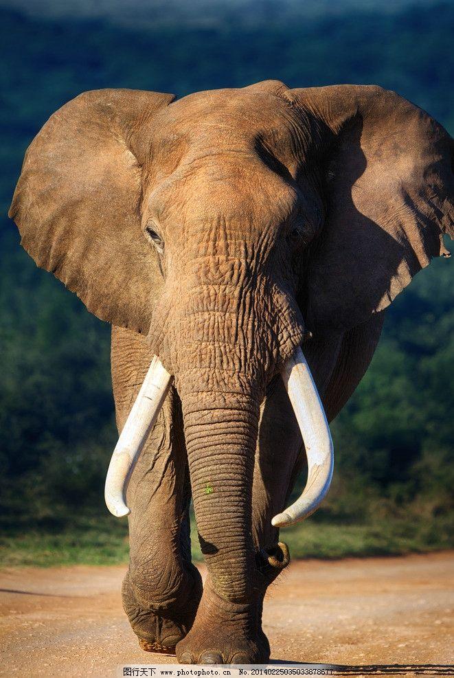 大象 非洲象 动物 高清 摄影 野生动物 生物世界