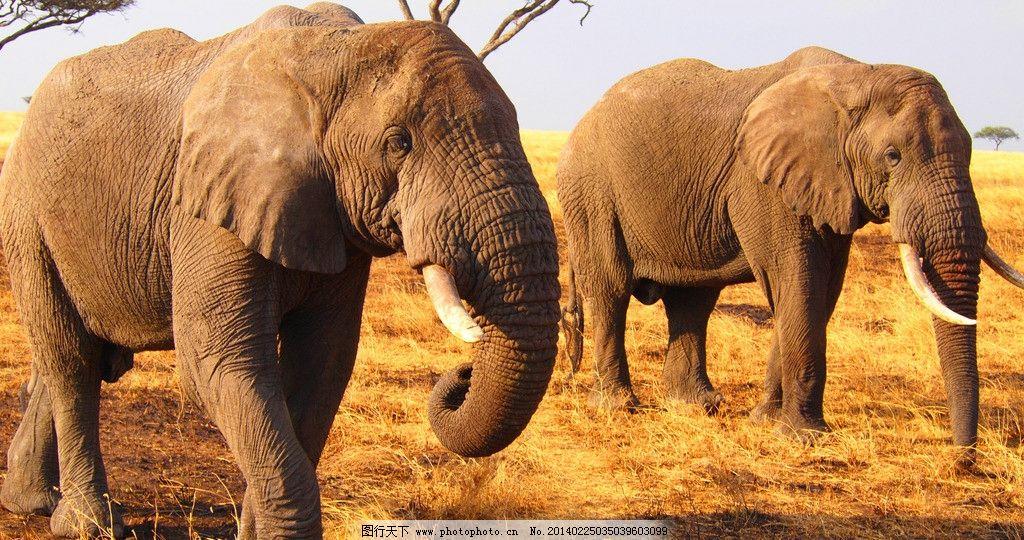 大象 非洲象 草药 动物 高清 摄影 野生动物 生物世界 300dpi jpg