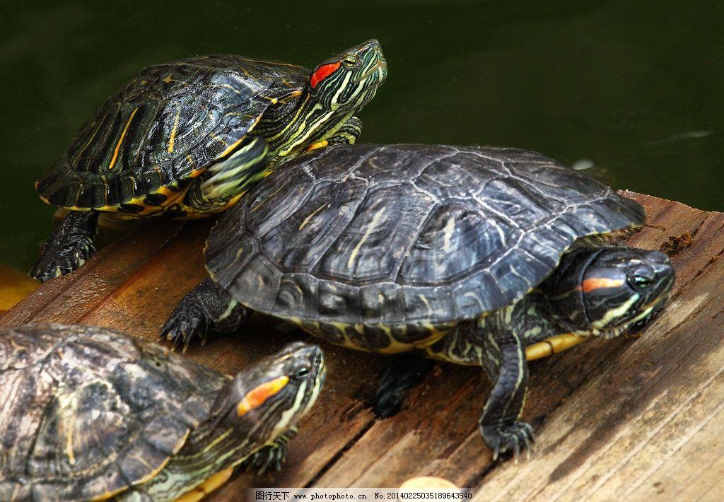 巴西龟 乌龟 巴西红耳龟 动物 脊索动物 生物 海洋生物 生物世界 摄影图片