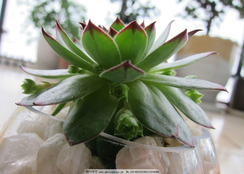 多肉植物 可爱 观音莲 绿植 防辐射 办公装饰 装饰物 绿色植物