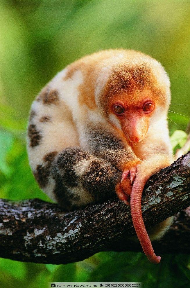 眼镜猴 树上 盘坐 幼猴 金黄色毛 长尾巴 野生动物 生物世界 摄影 72d