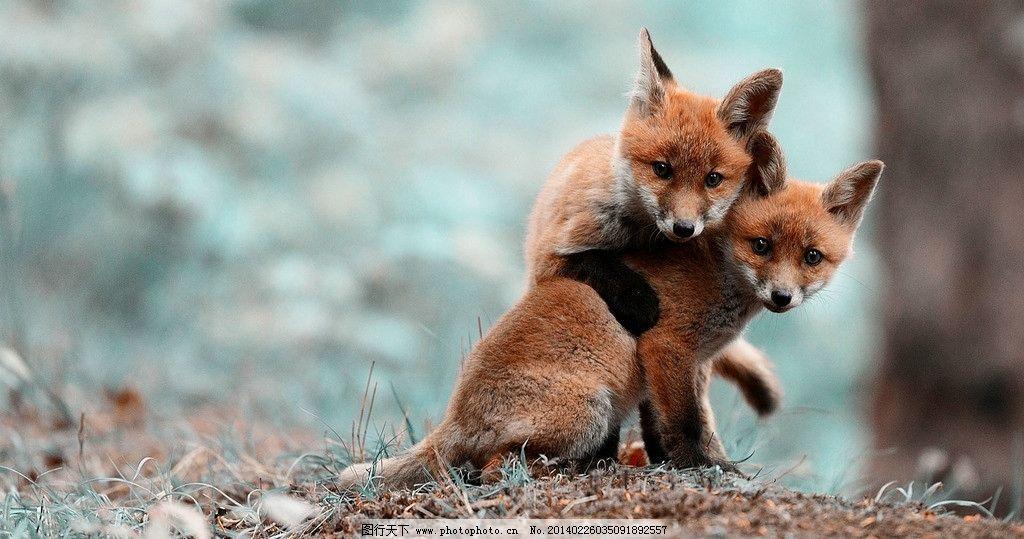 两只狐狸 狐狸 森林 风景 桌面 背景 野生动物 生物世界 摄影 72dpi j